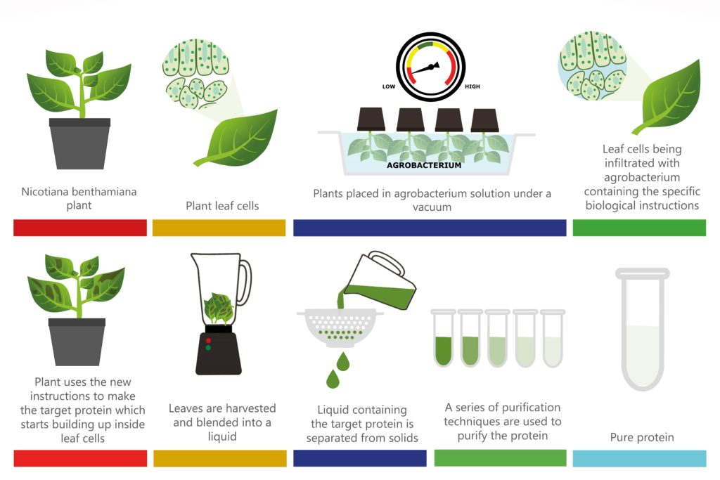 Plant-based Expression for proteins process